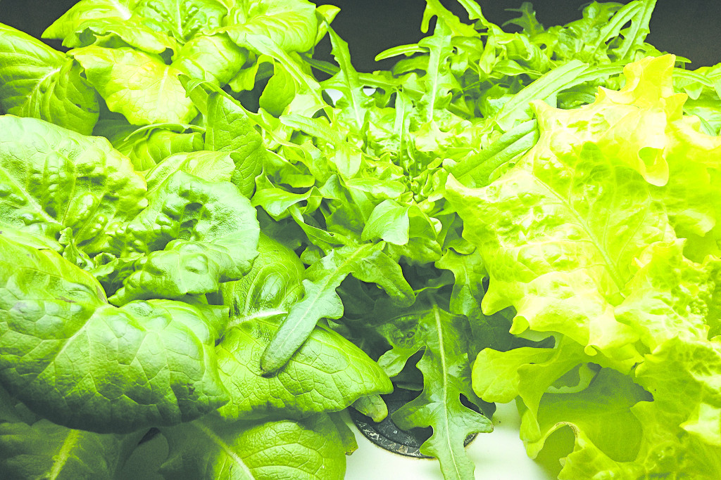 The veggies of our labor. A bounty of lettuce grown from seedlings (above).
