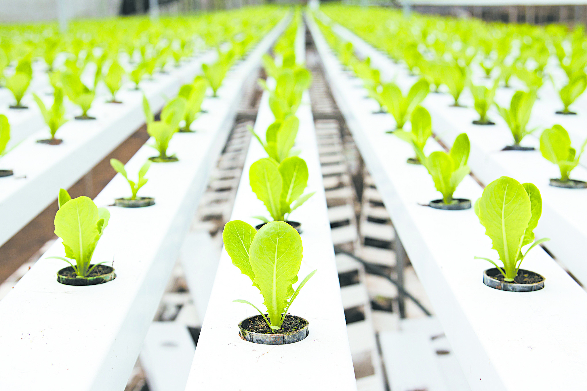 Hydroponic vegetable plantation