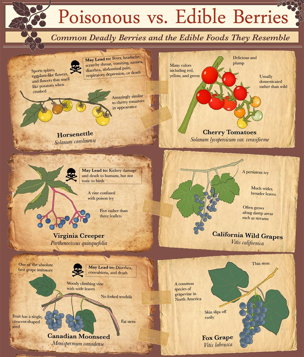 Infographic poisonous berries food fruit vegetable garden forage 2