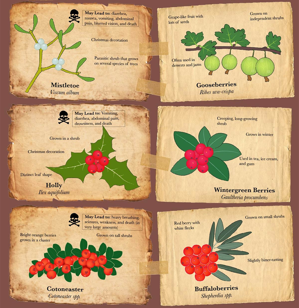 Infographic poisonous berries food fruit vegetable garden forage 4