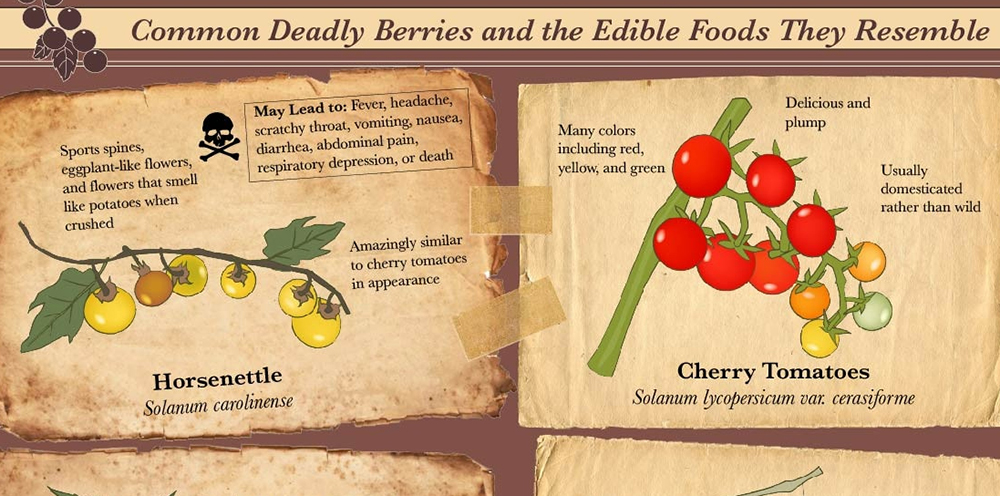 Infographic poisonous berries food fruit vegetable garden forage 7