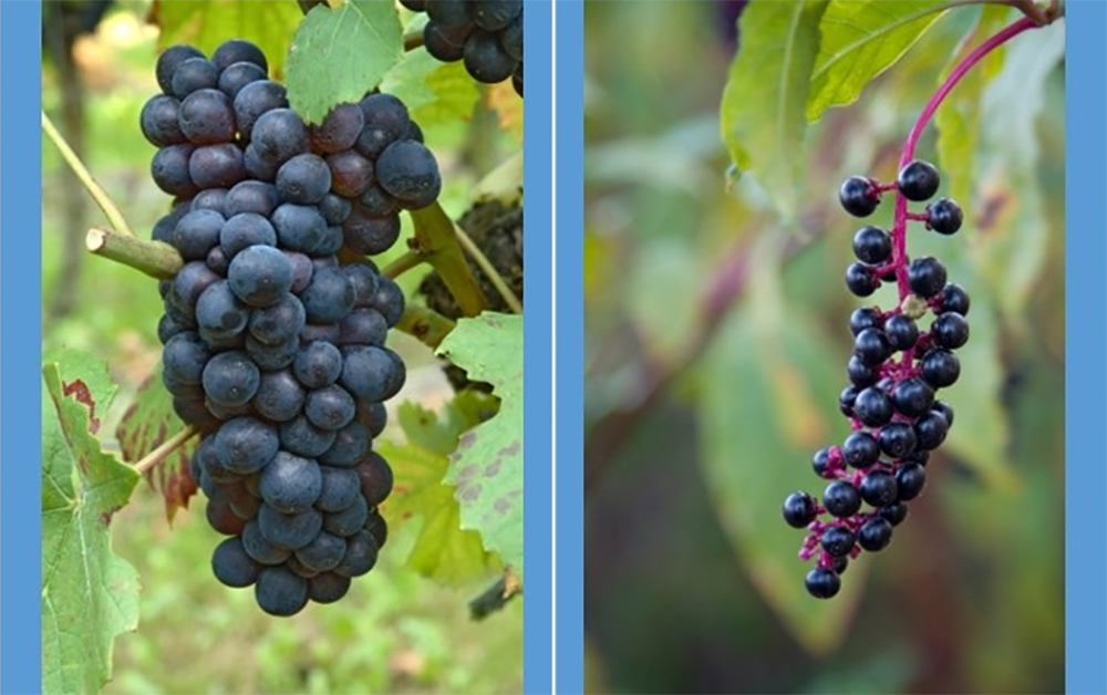Left: edible grapes. Right: poisonous Pokeberries. (Photo via Poison.org)